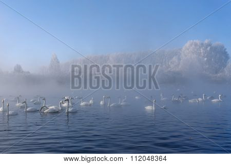 Swan Lake Mist Winter Birds