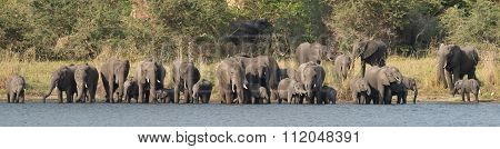 Herd Of Elephants Drinking At The River Side