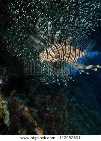 Lionfish And Their Meal