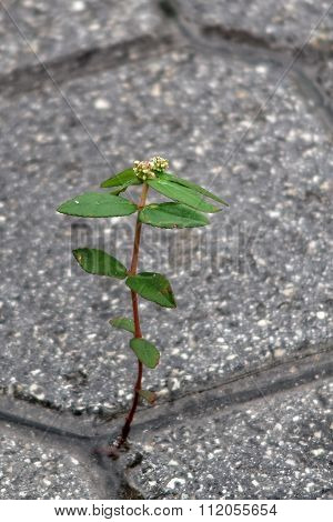 Hardy Weed Growing In Crack