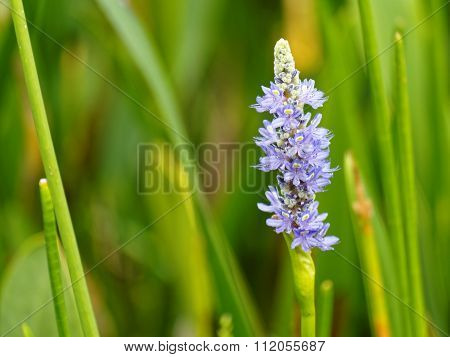 Purple Pontederia Pickerel Weed