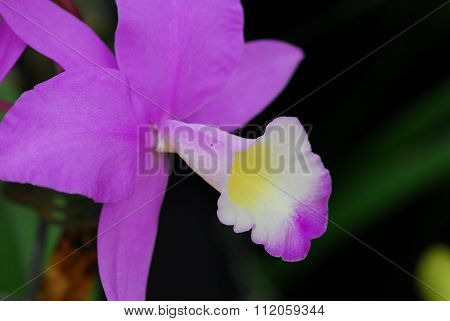 Cattleya Pink White Orchid Flower
