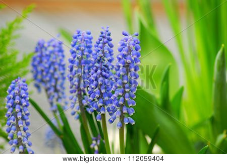 Grape Hyacinth Muscari Armeniacum Flower