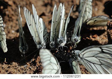 Black-veined White Butterflies