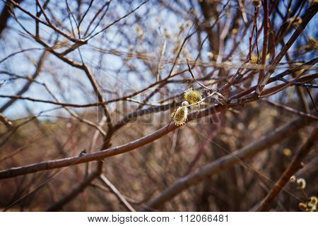 Willow Branch With Yellow Catkin