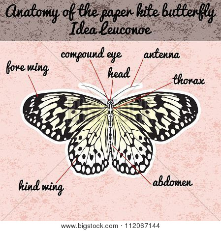 Insect anatomy. Sticker Butterfly Idea Leuconoe. Rice Paper Kite . Sketch of Butterfly. Butterfly De