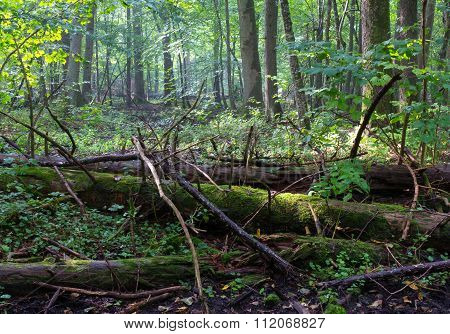 Old Moss Wrapped Spruce Tree Lying In Deciduous Stand