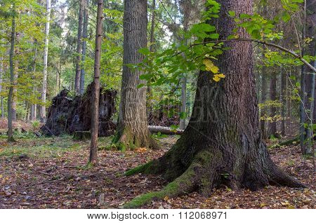Monumental Old Spruce In Mixed Stand Of Bialowieza Forest