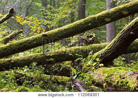 Old Oak Tree Broken Lying In Spring Forest