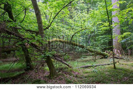 Old Broken Hornbeam Tree Moss Wrapped
