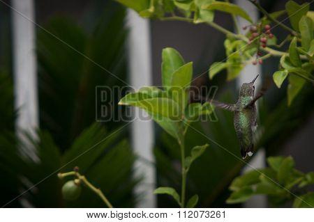 A green humming bird feeding on a lemon tree.