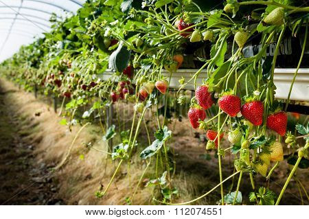 Ripe Strawberries Growing In A Poly Tunnel