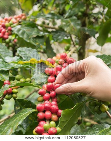 Coffee Beans On The Tree Waiting For The Store To Make A Drink.