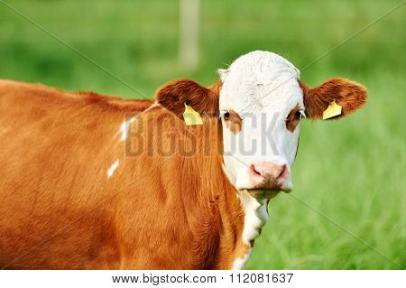 young brown Austrian cow outdoors at pasture