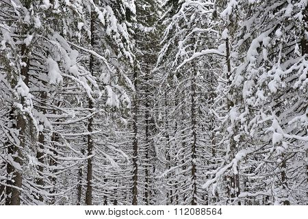 Wintery Forest  Background