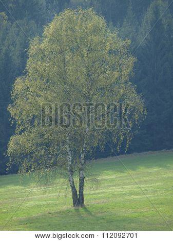 Lonely Dry Tree