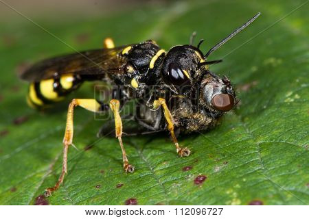 Field digger wasp (Mellinus arvensis) with hoverfly prey