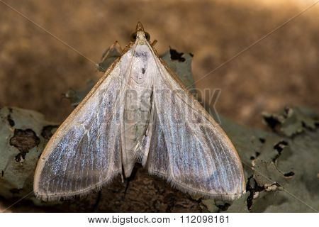 Palpita vitrealis micro moth