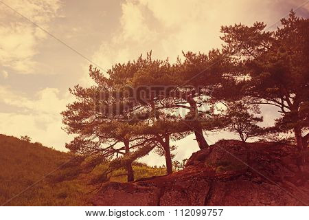 Landscape With Rocks And Groves Of Relict Pine Tree.