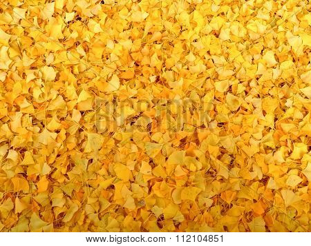 a lot of ginkgo leaves