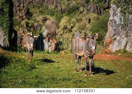 The Grevy S Zebra (equus Grevyi), Sometimes Known As The Imperial Zebra, Is The Largest Species Of Z
