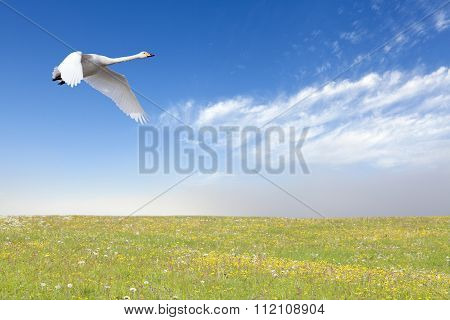 A whooper swan in migration.