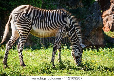 A Beautiful African Zebra In His Natural Environment