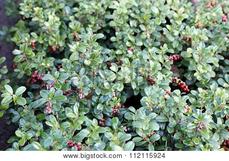 Bush Lingonberry With Red Berries