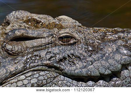Crocodiles Masai Mara