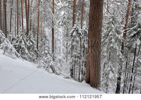 Taiga After Snowfall