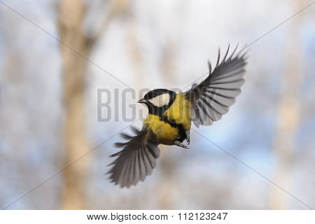 Front View Of Flying Great Tit