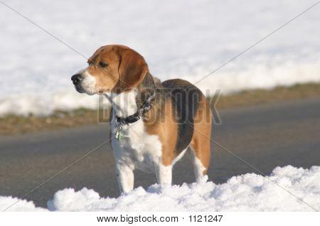 Beaggle On Snow