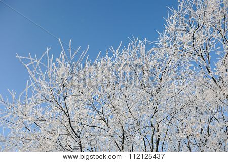 Hoar-frost On Willows