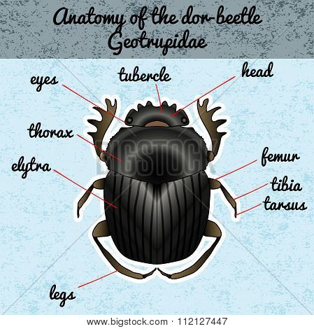 Insect anatomy. Sticker Geotrupidae dor-beetle . Sketch of dor-beetle.