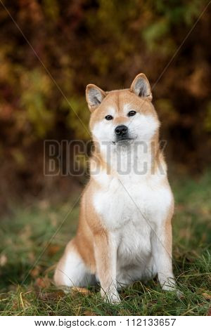 Dog breed red Japanese Shiba walking in park