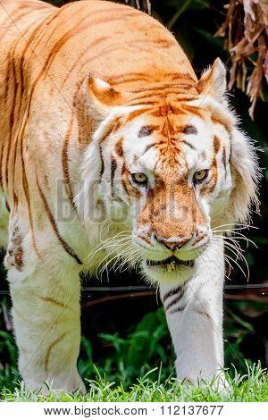 Aging Tiger