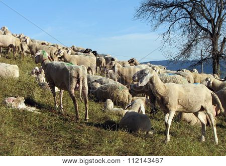 Many Sheep Graze On The Hill In Fall