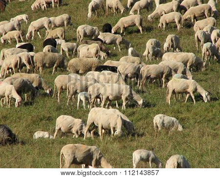 Flock With Sheep Grazing In A Meadow