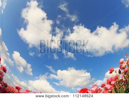 Flowers and sky. Flowering pink garden buttercups and blue spring sky. The picture was taken Fisheye lens