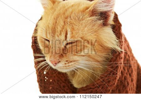 Portrait of red cat in maroon knitted scarf isolated on white background