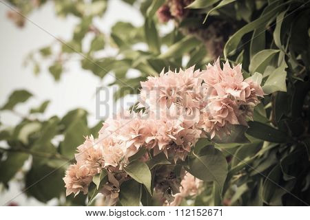 Selective Focus Of    Bougainvillea Flowers With Filter Color,vintage Toning