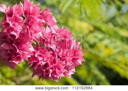 Selective Focus Of    Bougainvillea Flowers