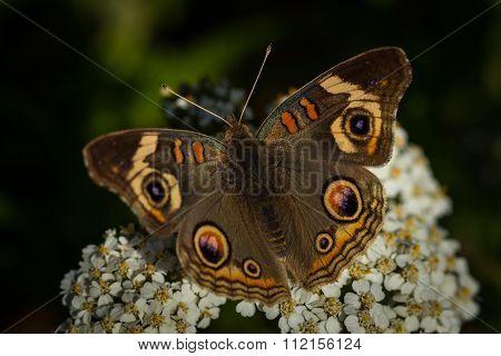 Common wild Buckeye butterfly
