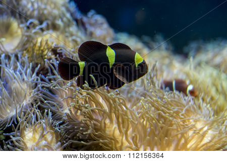 beautiful clownfish in coral bank in the sea