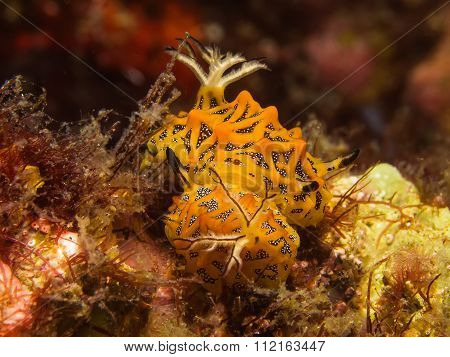 Sea Slug Halgerda Tesellata Mating
