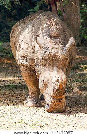 Rhinoceros With Horn Head Down Under Tree