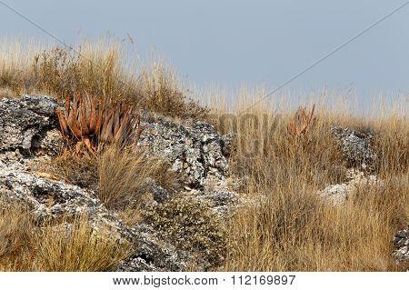 Flowering Aloe In The Etosha Desert