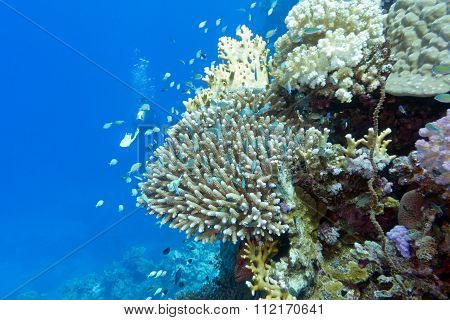 Coral Reef With Fishes Chromis Caerulea And Diver , Underwater