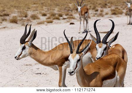 Herd Of Springbok In Etosha