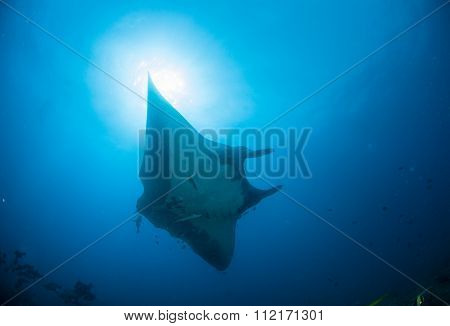 A manta ray gliding in blue water